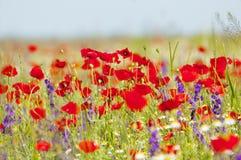 Amapolas y flores rojas de la primavera en el prado Fotografía de archivo