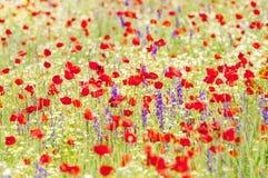 Amapolas y flores rojas de la primavera en el prado Imagen de archivo