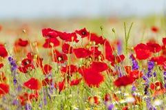 Amapolas y flores rojas de la primavera en el prado Imágenes de archivo libres de regalías
