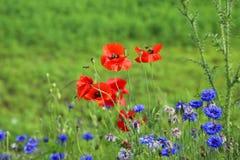 Amapolas y flores salvajes Imágenes de archivo libres de regalías