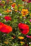 Amapolas y margaritas rojas en el campo de flores salvajes Imágenes de archivo libres de regalías