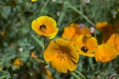 Amapolas y polen Fotos de archivo libres de regalías