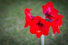 Amarílis vermelha bonita dentro pelo jardim Imagens de Stock Royalty Free