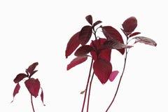 Amarant (Amaranthus) Royalty-vrije Stock Foto