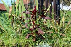 Amarant of Amaranthus schikte de kosmopolitische soort van jaarlijkse installatie met bloemen in kleurrijke die bracteeën met dik stock afbeelding