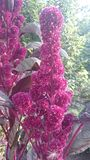 Amarant auf Blumenbett Stockbild