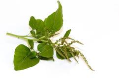 Amarant, grüner Amarant lizenzfreie stockbilder