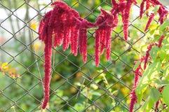 Amarant (krwawienie) połączenia ogrodzeniem Obrazy Stock