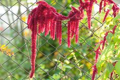 Amarant (Liebe-Lüge-Bluten) durch Kette-Link Zaun Stockbilder