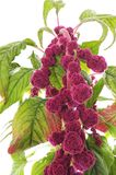 Amarant mit roten Blumen Lizenzfreie Stockfotos