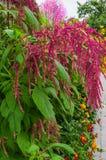 Amarant r jako obfitolistni warzywa, zboża i ornamentacyjne rośliny w Ameryka Południowa, Amarantowi ziarna są bogatym źródłem zdjęcie stock