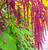 Amarant wird als Blattgemüse, Getreide und Zierpflanzen kultiviert lizenzfreie stockfotografie