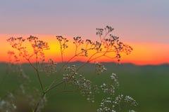 Amarantblumen bei Sonnenuntergang Lizenzfreie Stockfotografie