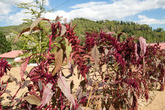 Free Amaranth Stock Images - 37036164