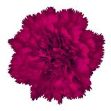 Amaranth carnation flower isolated on white background. Close-up. Element of design royalty free stock image