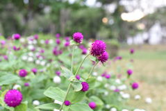 Amaranth flower. In garden on natural background stock photos