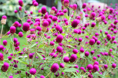 Amaranth flower Royalty Free Stock Photos