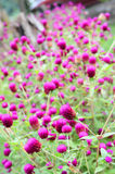Amaranth flower Stock Photography