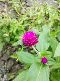 Globe Amaranth flower Royalty Free Stock Photo