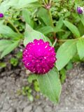 Globe Amaranth flower Royalty Free Stock Image