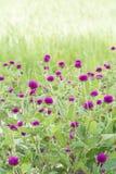 Amaranth flower. Violet amaranth when sunshine day Royalty Free Stock Images