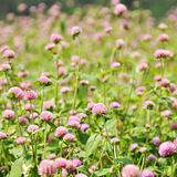 Amaranth flowers. Amaranth flower in the field Stock Photo