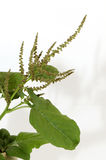 Amaranth, Green Amaranth Royalty Free Stock Photos