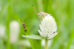 Amaranth and insect Royalty Free Stock Photo