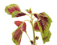 Amaranth Stock Photography