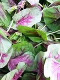 Amaranth leaf Royalty Free Stock Images