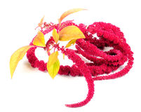 Amaranth (Love-Lies-Bleeding) Flowers Stock Image