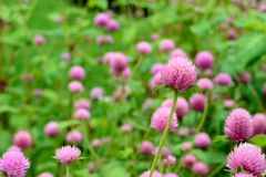 Amaranth Pink. Royalty Free Stock Images