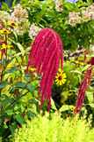 Amaranth plant. On the street garden royalty free stock images