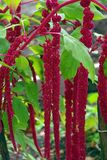 Amaranth Plant. Red decorative amaranth plant in the garden Royalty Free Stock Image