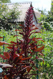 Amaranth plant Stock Photos