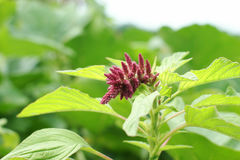 Amaranth plant in garden. Focus on young flower Stock Photos