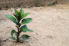 Amaranth plant Stock Photo