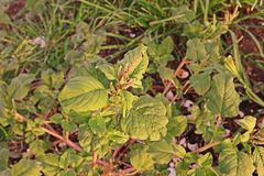 Amaranth plant, weed in upland crop Royalty Free Stock Images