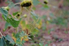 Amaranth plant, seeds set Royalty Free Stock Photography