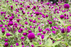 Amaranth purple background green,purple. Amaranth purple background green purple Stock Image