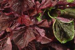 Amaranth vegetable Royalty Free Stock Image