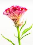 amaranthaceae, crista isolada no fundo branco Fotografia de Stock