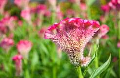 Amaranthaceae, Wolbloem, hanekam in tuin Royalty-vrije Stock Afbeeldingen