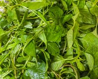 Amaranthe comestible en Inde photo stock
