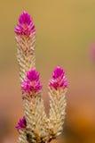 Amaranthe de globe de floraison Images libres de droits