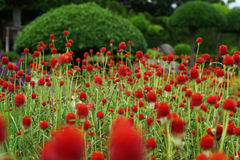 Amaranthe de globe, haageana 'Strawberry Fields de Gomphrena images libres de droits