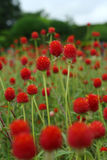 Amaranthe de globe, haageana 'Strawberry Fields de Gomphrena image stock