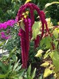 Amaranthe rouge Photo libre de droits