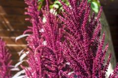 Amaranthe rouge et x28 ; Cruentus& x29 d'amarantus ; inflorescence Images libres de droits