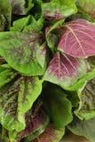 amaranthgrönsak Arkivfoto